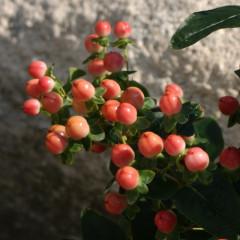 Rose Classic (Verroscla) ®