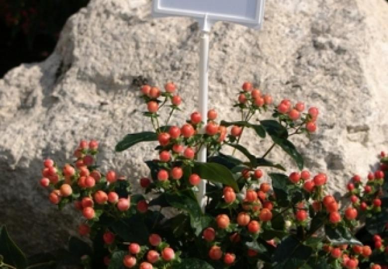 Rose Classic (Verriscla)
